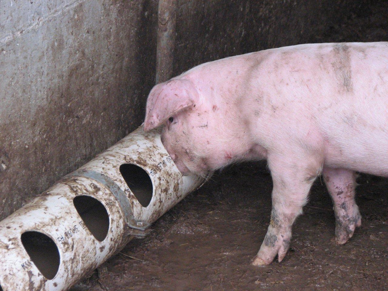 Drinking pig 300307 kb